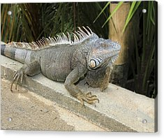 Acrylic Print featuring the photograph Iguana by Nick Mares