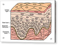 Illustration Of Stratified Squamous Acrylic Print by Science Source