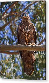 Immature Bald Eagle Acrylic Print by Beth Sargent