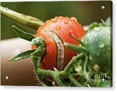 Immature Tomatoes Acrylic Print by Sami Sarkis