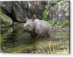 Indian Rhinoceros Rhinoceros Unicornis Acrylic Print