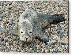 Injured Harbor Seal Acrylic Print by Ted Kinsman
