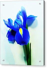Iris Acrylic Print by Sharon Lisa Clarke