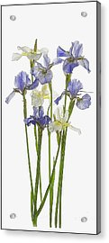 Irises In Blue And Yellow  Acrylic Print