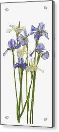 Irises In Blue And Yellow  Acrylic Print by Gordon Ripley