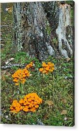 Jack Olantern Mushrooms 16 Acrylic Print by Douglas Barnett