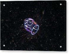 Jellyfish Acrylic Print by Alexander Semenov