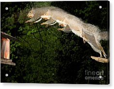Jumping Gray Squirrel Acrylic Print by Ted Kinsman