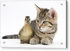 Kitten And Duckling Acrylic Print by Mark Taylor