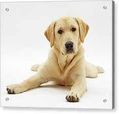 Labrador X Golden Retriever Puppy Acrylic Print by Jane Burton