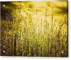 Acrylic Print featuring the photograph Lavender Gold by Sara Frank
