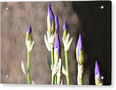 Acrylic Print featuring the photograph Lavender Iris Buds by Mary McAvoy