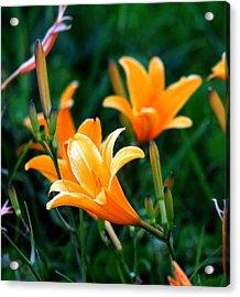 Lilies Acrylic Print by Elizabeth  Doran