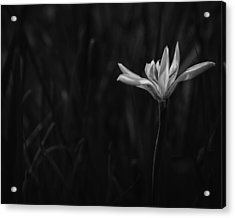 Lily Acrylic Print by Mario Celzner