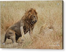 Lion Acrylic Print by Alan Clifford