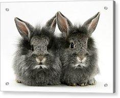 Lionhead Rabbits Acrylic Print by Jane Burton