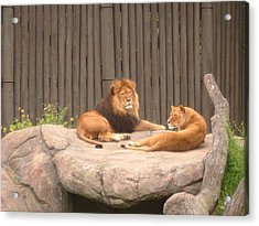 Lions - The Happy Couple Relaxing - Cleveland Metro Zoo 1 Acrylic Print by S Taylor