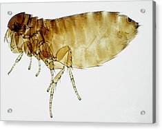 Lm Of Bird Flea Acrylic Print by Power And Syred