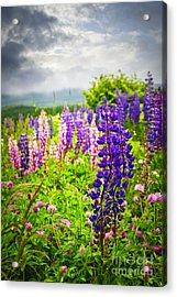 Lupins In Newfoundland Meadow Acrylic Print by Elena Elisseeva