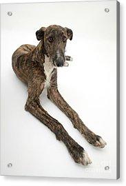 Lurcher Dog Acrylic Print by Mark Taylor