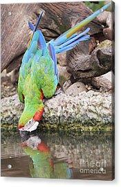 Macaw  Acrylic Print by Anek Suwannaphoom
