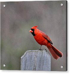Male Cardinal Acrylic Print by Todd Hostetter