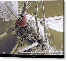 Male Mosquito Acrylic Print by Ted Kinsman