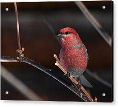 Male Pine Grosbeak Acrylic Print