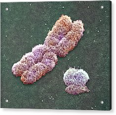 Male Sex Chromosomes, Sem Acrylic Print by Power And Syred
