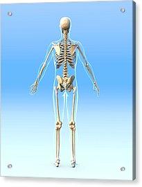 Male Skeleton, Artwork Acrylic Print by Roger Harris