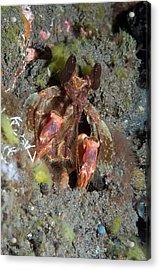 Mantis Shrimp Acrylic Print by Georgette Douwma