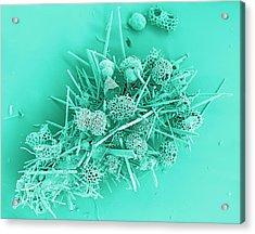 Marine Protozoa Shells, Sem Acrylic Print by Peter Bond, Em Centre, University Of Plymouth