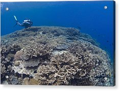 Masses Of Staghorn Coral, Papua New Acrylic Print by Steve Jones