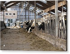Modern Dairy Stable With Several Cows Acrylic Print by Corepics