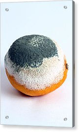 Moldy Orange Acrylic Print by Photo Researchers, Inc.