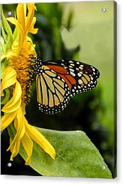 Monarch And The Sunflower Acrylic Print
