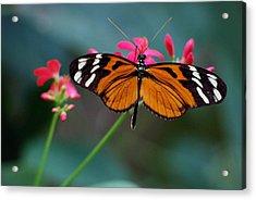 Monarch Butterfly Acrylic Print by Luis Esteves