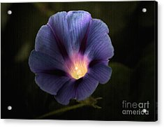 Morning Glory  Acrylic Print by Marjorie Imbeau