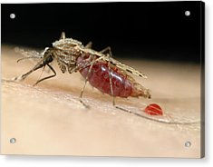 Mosquito Feeding Acrylic Print by Sinclair Stammers