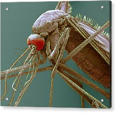 Mosquito, Sem Acrylic Print by Steve Gschmeissner