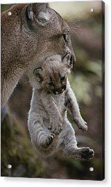 Mother Mountain Lion, Felis Concolor Acrylic Print by Jim And Jamie Dutcher