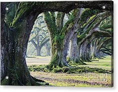 Old Growth Trees Acrylic Print by Jeremy Woodhouse