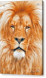 Old Lion Acrylic Print