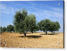 Olives Tree In Provence Acrylic Print by Bernard Jaubert