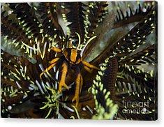 Orange And Brown Elegant Squat Lobster Acrylic Print by Steve Jones
