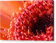 Orange Gerbera Close Up Acrylic Print by Fiona Messenger