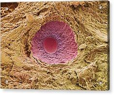 Ovarian Follicle, Sem Acrylic Print by Steve Gschmeissner