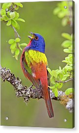 Painted Bunting Singing 1 Acrylic Print