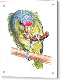 Parrot Eating Toast Acrylic Print by Maureen Carter