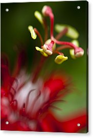 Passiflora Flower Acrylic Print by Zoe Ferrie